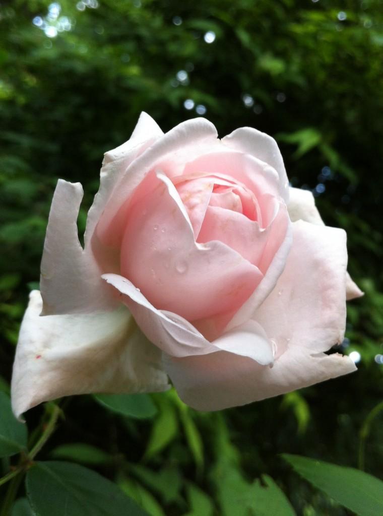 2013.06.28 追分の朝と薔薇