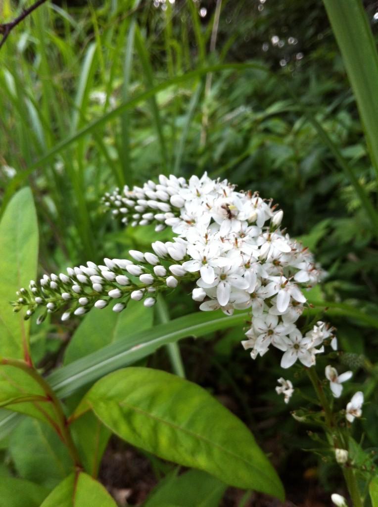 2013.07.06 森の薫りを漂わす草花