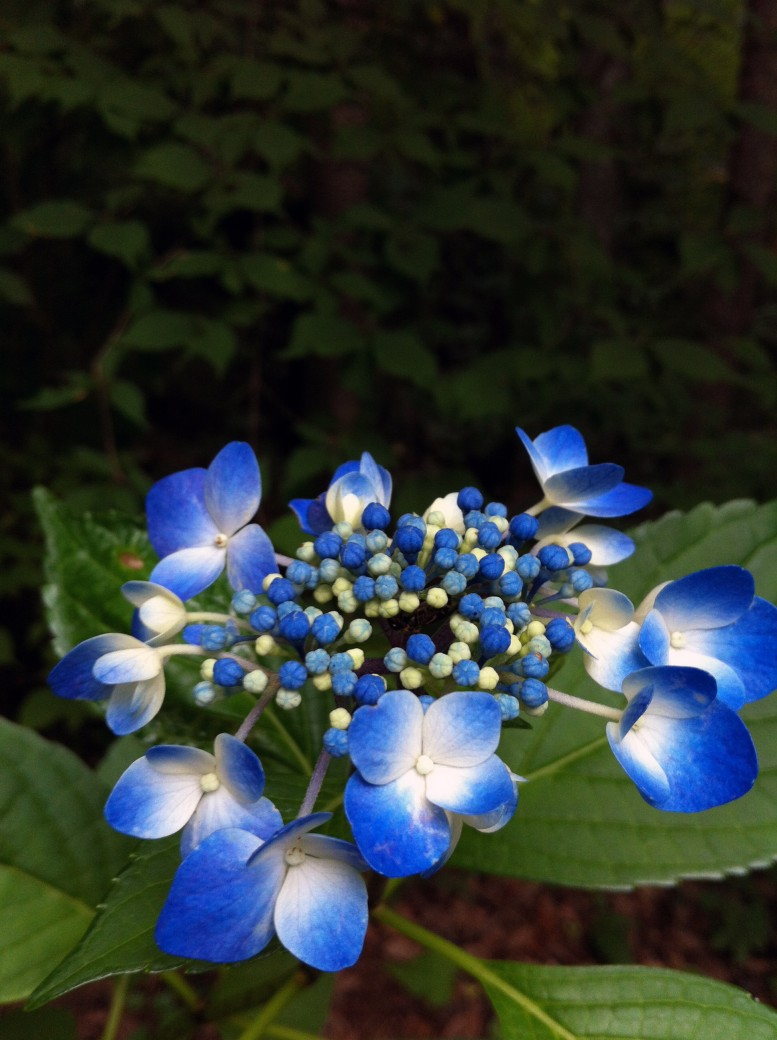 2013.08.12 紫陽花