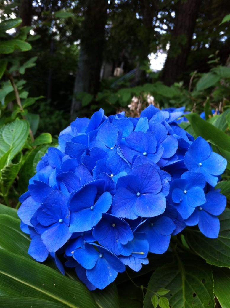 2013.08.14 紫陽花