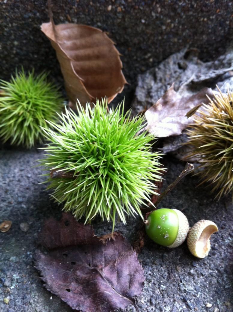 軽井沢の栗とドングリ