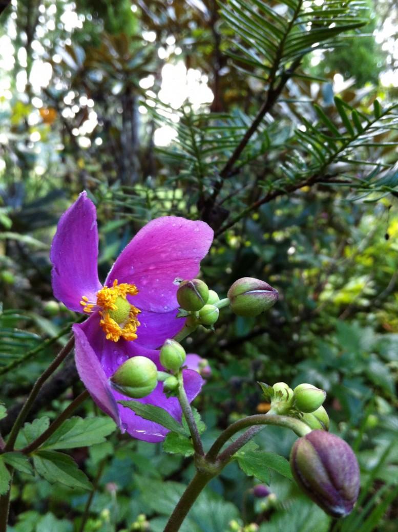 軽井沢の秋明菊