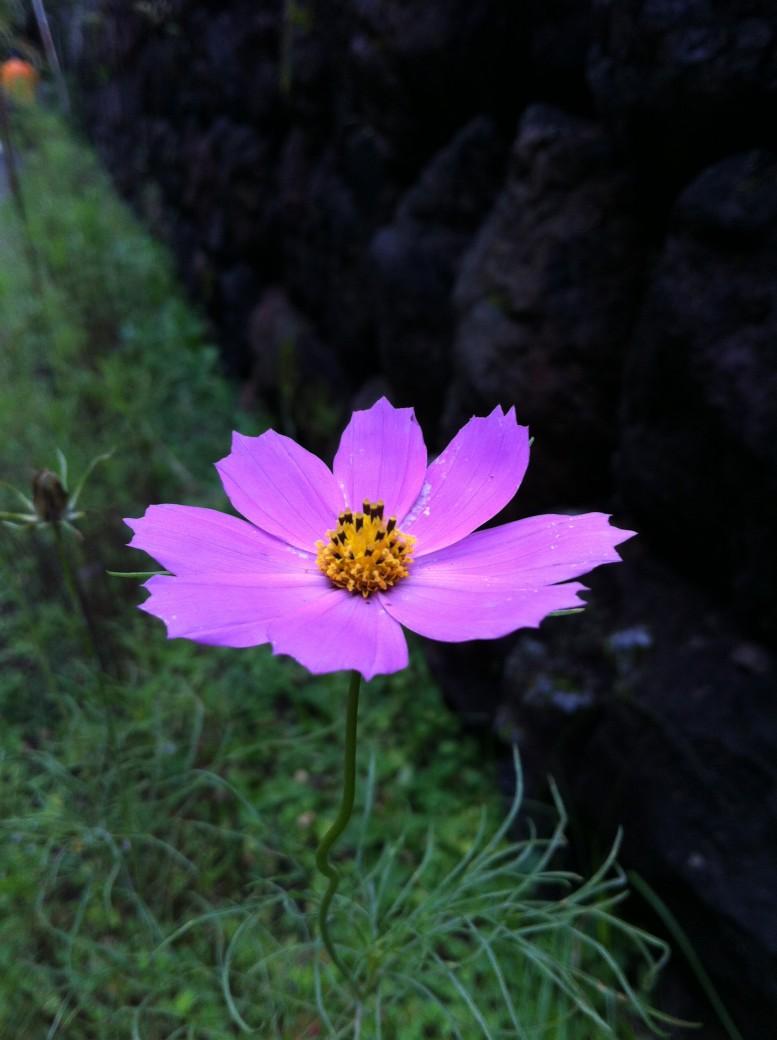 軽井沢の秋桜